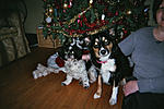members/jazzy64-albums-my-life-picture51-oreo-1-year-old-shih-tzu-maddie-4-year-old-border-collie.jpg